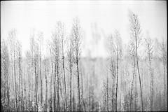 Spontanea Semplicità (|γ|S| GammaSintesi) Tags: nikon fm2 fm2n nikkor 50mm ais blackandwhite bw ilford hp5plus film пленка italia италия italy monocrome pellicola v700 arsimago monobath bokeh minimal nature