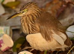 DSC_9720 b (Tartarin2009 (travelling)) Tags: india kerala cochin kochi tartarin2009 travel beach heron bird nikon d600 wildlife oiseau