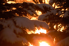 Going to Extremes (Karen McQuilkin) Tags: winter branches pines snowcovered sunburst warm glow goingtoextremes christmasday2016 yard trees home