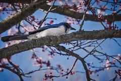 Nourish (Carrie McGann) Tags: bird californiascrubjay blossoms plumblossoms tree branches 022417 nikon interesting