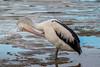 Australian Pelican (Pelecanus conspicillatus) (Arturo Nahum) Tags: australia aves animal arturonahum birdwatcher bird birds australianpelicanpelecanusconspicillatus