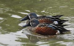 Australasian shovelers (blue33hibiscus) Tags: australasianshovelers duck wwt slimbridge gloucestershire