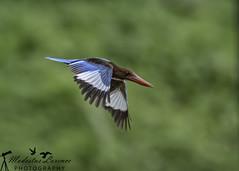 Too busy.. (Modestus Lorence) Tags: birdinflight wildlife f5612500s 2xtciii canon1dxmarkii canon300mmf28isii springleafpark singapore bif inflight whitethroated kingfisher outdoor birds animals