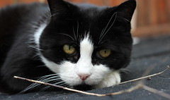 Eye to eye :-) (Snorkle-suz) Tags: henrysugar cat face eyes ears whiskers feline pose posing love beloved cats friend family companion adored funny silly pet kat furry fluffy blackandwhitecat blackwhitecat bwcat cathair catsface catfur catspaw eyebrows hairyears outside ground canoneos600d 500mm canoneosrebelt3i canoneoskissx5 50mm shallowdepthoffield dof