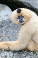234A5635.jpg (Mark Dumont) Tags: animals cincinnati dumont gibbon mammal mark primate white zoo