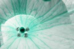 Gönüle girmek - The visit to a heart (halukderinöz) Tags: flower çiçek dijital digital art sanat stigma dişiorgan anther erkekorgan bolu turkey türkiye yunus emre