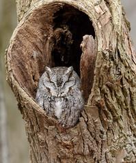 Eastern Screech Owl (snooker2009) Tags: bird owl raptor eastern screech gray phase wildlife nature pennsylvania