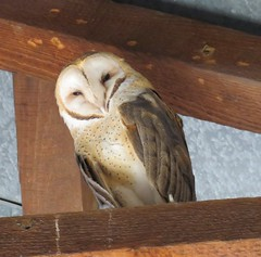 Barn Owl (Tyto alba) 01-18-2017 Smoky Road, Calvert Co. MD 1 (Birder20714) Tags: birds maryland owls tytonidae tyto alba