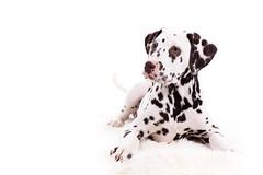 Stitch the Dog (ONE DIGITAL EYE) Tags: dog puppy pet palmation spots black white portrait