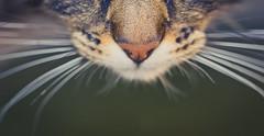 Snout (N'Grid) Tags: tongue cat nose chat moustache nez snout langue truffe museau