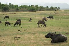 bubalus bubalis (Inklaar) Tags: asia srilanka lk bovinae waterbuffalo azi ratnapura udawalawe  runderen bubalusbubalis udawalawenationalpark waterbuffel karbouw  uvaprovince domesticasianwaterbuffalo  p7700 nikonp7700 inklaar:see=all