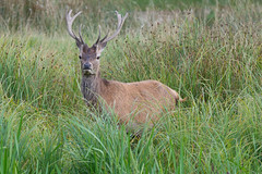 Red Deer, (Cervus elaphus).
