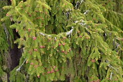 Upper twigs of spruce (Picea abies, Pinaceae) at Myllykoski rapid (Palojoki, Nurmijärvi, 20120512) (RainoL) Tags: plants plant tree finland geotagged spring vantaanjoki may u fin spruce 2012 pinaceae uusimaa nurmijärvi piceaabies norwayspruce 201205 myllykoski palojoki 20120512 geo:lat=6045581100 geo:lon=2485215000