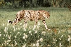 Cheetah (aminefassi) Tags: nature animal canon guepard morocco maroc 5d cheetah rabat felin acinonyxjubatus ef70200mmf28 temara aminefassi zoodetemara guepardmouchet