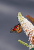 moarch hanging out (Shandi-lee) Tags: summer orange white ontario canada black blur flower macro cute green love nature animal butterfly insect grey wings flickr blossom bokeh small naturallight august depthoffield tiny monarch bloom endangered rare flowercloseup oshawa monarchbutterfly naturallighting 2015 85mmf18 summerflowers singleobject canoneos7d shandilee shandileee shandileecox instagram