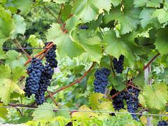 Vaduz Young Grapes (Keith Roper) Tags: vineyard vines grapes liechtenstein vaduz