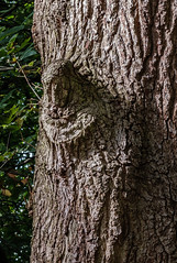 Tree Face (Rupert Brun) Tags: tree face kent faces north meadow meadows bark trunk bexley cray foots sidcup