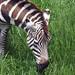 Binder Park Zoo 05-20-2015 - Grants Zebra 24