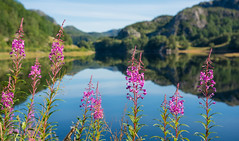 ۰ Peaceful Morning ۰ (Ranveig Marie Photography) Tags: pictures morning pink flowers blue lake mountains flower reflection nature water colors norway norge weed flora colorful colours peace photos bokeh norwegen bluesky images norwegian explore silence noruega nordic blueskies colourful blomst vann blomster fjell jæren fireweed rogaland tranquillity norsk nordisk norvège onagraceae epilobium gjesdal epilobiumangustifolium eveningprimrosefamily greatwillowherb mjölke rosebaywillowherb skandinavisk spegling explored weidenröschen geitrams nattlysfamilien schmalblättrigesweidenröschen mjölkört rallarros willowherbfamily wierzbówkakiprzyca geiterams maitohorsma waldweidenröschen villblomst sigurskúfur gederams épilobeenépi staudenfeuerkraut waldschlagweidenröschen oltedalsvatnet oltedalsvannet mjølkefamilien ranveigmarienesse ranveignesse