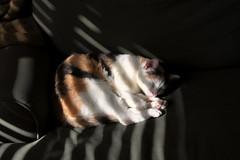 Dreaming (Russ Allison Loar) Tags: pet sunlight cat lightandshadows feline solitude quiet peace shadows sleep slumber dream kitty sleepingcat dreaming couch catnap silence calico meow contentment sleepdeprivation filteredlight sleepstudies remsleep pethealth