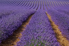 La main de l'homme **---+O (Titole) Tags: lavande lavender field titole nicolefaton purple lines plateaudevalensole explored thechallengefactory friendlychallenges diamondaward gamex2 herowinner 15challengeswinner challengeyouwinner cyunanimous challengegamewinner