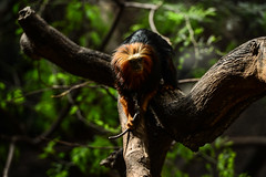 Golden-headed lion tamarin (PChamaeleoMH) Tags: goldenheadedliontamarin