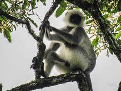 hanuman monkey (raghphotography) Tags: wyanad raghphotography kerala forest canon ragh 520hs wayanadwildlifesanctuary treetop hanuman monkey hanumanmonkey