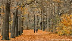 Autumn walk ... (Alex Verweij) Tags: autumn trees people color tree colors canon walking doorn kaapsebossen herfst blad 5d wandeling mensen kleur kleuren sfeer stel beuk bladeren beukenboom beukenbomen alexverweij