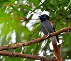 Bird (norbert.cellier) Tags: norbert cellier norertcellier kenya masai mara africa widelife nature