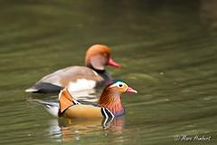 101102_154609.jpg (marc1bert) Tags: oiseaux faune canardmandarin oiseauxdeau
