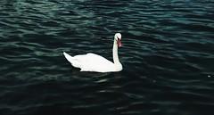 Cigno - Ginevra (Svizzera) #lauratintoriph (lauratintori) Tags: portrait white lake nature water beautiful animal lago photography photo swan photos picture natura pic ph svizzera ginevra animale carpediem swizz cigno animalphoto lauratintoriph