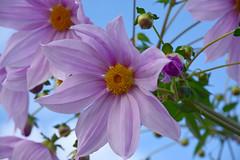 20151111_020_2 (まさちゃん) Tags: dahlia 花 ダリア 雄蕊 雄しべ 雌蕊 雌しべ 皇帝ダリア