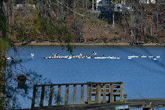 Visitors on the River (BKHagar *Kim*) Tags: pelicans water birds river al dock backyard alabama pelican athens migration waterfowl feathered elkriver bkhagar