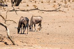 Oryx, Namibian Desert II (chasingthelight10) Tags: africa travel nature photography landscapes desert wildlife events places things ostrich namibia oryx springbok sossusvlei deadvlei weaverbirds
