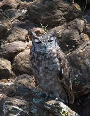 Greyish eagle-owl (Lluniau Clog) Tags: kenya greatriftvalley lakebaringo greyisheagleowl buboafricanuscinarescens