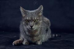 Ficelle The Cat (marine.benchao) Tags: cat jaune de chat vert yeux et chatte gouttire diabolique