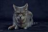Ficelle The Cat (marine.benchao) Tags: cat jaune de chat vert yeux et chatte gouttière diabolique