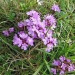 Demoiselles des prés, Les Quiraings,  péninsule de Trotternish, île de Skye, Ross and Cromarty, Highland, Ecosse, Royaume-Uni thumbnail