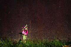 life against the wall (JayPiDee) Tags: berlin blumen blüte deutschland germany metall rost tamron7020028 wand blossom flowers metal rostig rust rusty wall