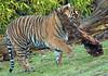 sumatran tiger Burgerszoo JN6A9787 (j.a.kok) Tags: burgerszoo tijger tiger sumatraansetijger sumatrantiger pantheratigrissumatrea cat kat predator sumatra asia azie mammal zoogdier