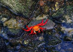 On Mosaic (Mahmoud R Maheri) Tags: wildlife galapagos pacificocean crab beach rock nature ocean water ecuador