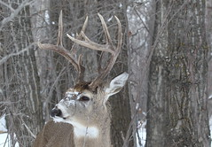 White-tailed Buck  1195 (robenglish64) Tags: whitetailed buck