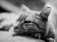 If I was bigger I would eat you. (von8itchfisk) Tags: cat pussy ginger gingertom gingerminge gingercat blackandwhite monochrome silver battisford vonbitchfisk