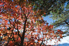 Maple in  Dasyue Mountain (tpkcpk) Tags: taichung taiwan clouds mountain travel lights canon dasyue sunshine maple formosa 1635mm trees
