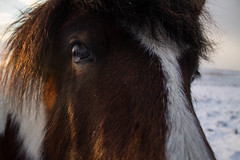 Viking_Horse (3) (Melissa Boodoo) Tags: horse viking traveling travel iceland snow ice fire volcano explore create shoot2kill icelandtravel neverstopexploring nature animals animal fur sunny sun morning early roadtrip roadstop natural life europe winter north northernlights chasing