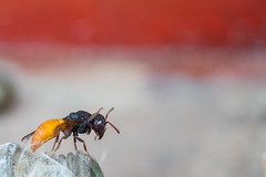 Yellow tailed wasp