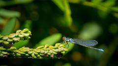 Zöld légivadász (Erythromma viridulum) pár potyautas atkával (jetiahegyen) Tags: tiszató rovar szitakötő insect kirándulás tour tanösvény túra túrázás hiking