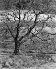 Nant Crew Tree (--Kei--) Tags: blackwhite mamiya127mmf35 127mm f35 mamiyasekor mamiya mamiyasekor127mmf35 tree blackandwhite monochrome bw mono wales uk britain cymru breconbeacons brecon aberhonddu nationalpark film 120film mediumformat analogue kodak trix 400tx d76 rz67 rz67proii rz67professional 6x7