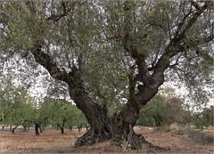 bella olivera en otos (carlosjunquero) Tags: olivo olivar otos
