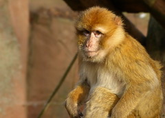 Barbary ape - Berberaap in Ouwehands Dierenpark (joeke pieters) Tags: 1310348 panasonicdmcfz150 berberaap macacasylvanusofmacacasylvana magot makaak barbarymacaque barbaryape berberaffe macaquedebarbarie ouwehands dierenpark rhenen gelderland nederland netherlands holland